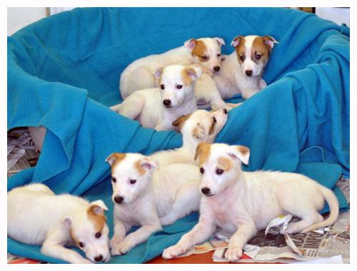 gundog puppies for sale